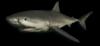 FC3 cutout greatwhiteshark