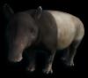 W. Tapir