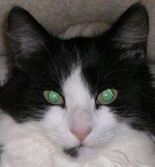 Reflexion der Augen einer Katze