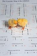 399px-Genomic chicks
