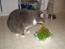 800px-Chloe-eats-wheatgrass-2889