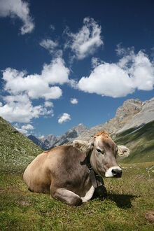 400px-CH cow 2