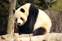 800px-Giant Panda 2004-03-2