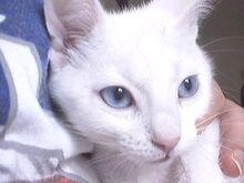 Manx Dante blue eyes