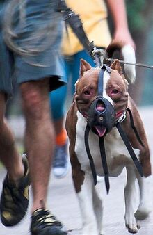 Pit bull restrained