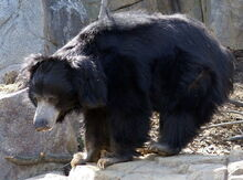 800px-Sloth Bear Washington DC