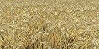 Barley ripe