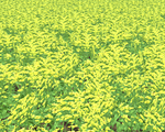 Canola 3rdStage Sml