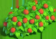 Raspberries bush 3