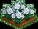 White Carnation 100