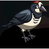 Acorn Woodpecker-icon