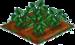 Buckwheat 66