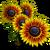 Fire Sunflower Full Bloom-icon
