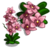 Pink Boat Orchid Full Bloom-icon