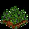 BlackBerries-bloom