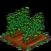 Peas-bloom