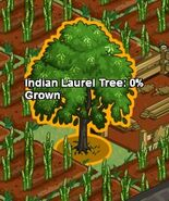 Indianlaureltree