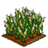 White Corn 100