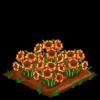 Sun poppies 100