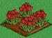 Red Tulip 100