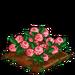 English Rose extra100