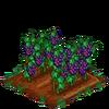 Grapes-bloom