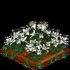 Lilies-bloom