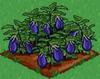 Eggplant 100