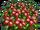 Garnet Poppy Bushel-icon.png