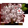 Yoshino Cherry Tree-icon