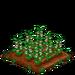 Field Bean 66