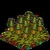 Pineapples-bloom