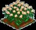 Buckwheat 100