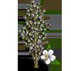 Corinthian Peach Tree-icon
