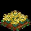 Daffodils-bloom