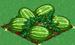 Watermelon extra100