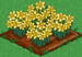 Daffodil 100