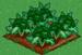 Broccoli 100
