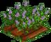 Licorice Plant 100