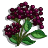 Elderberries-icon