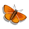 Collect largecopperbutterfly