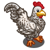 Cuckoo Maran Chicken-icon