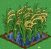 Rice extra100
