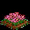 PinkRoses-bloom