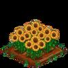 Sunflowers-bloom