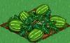 Watermelon 100