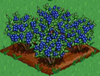 Blueberry 100