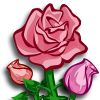 PinkRoses-icon