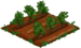 Licorice Plant 33