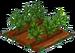 Licorice Plant 66